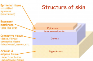 schematic diagram of layers of skin
